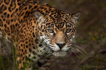 jaguar-amifelins-amerique-latine-felin