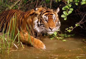 tigre-tiger-felin-amifelins