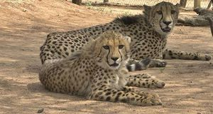 cheetah-guepard-conservation-protection
