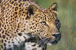 amifelins-leopard-felin-afrique