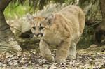 amifelins-felin-puma-cougar