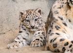 amifelins-felins-panthere-neige
