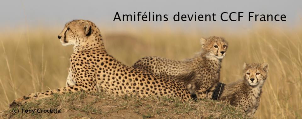 13d561f8770f9 Association Amifelins   les Amis du Guépard et des Félins Sauvages