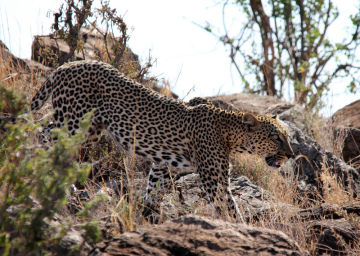 leopard-felin-amifelins-afrique
