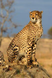 cheetah-guépard-félins