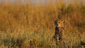 cheetah-guépard-amifélins-félins-afrique