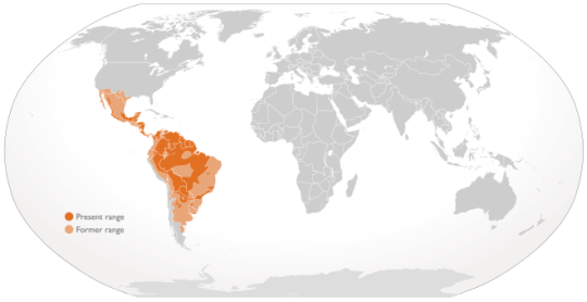 jaguar-amifelins-felins-amerique
