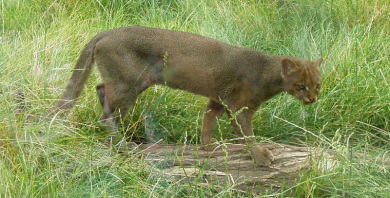 jaguarondi-amifelins-felins-Puma-yagouaroundi