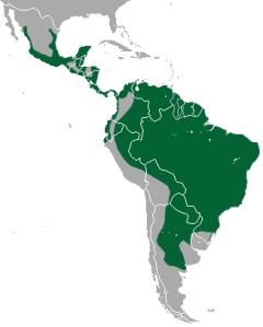 jaguarondi-felin-amifelin