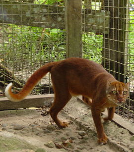 bay-cat-chat-doré-borneo-felin-amifelins
