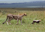 guepard-felin-amifelin-afrique-bébé