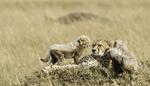 guepard-felin-amifelin-afrique-petits