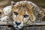 guepard-felin-amifelin-afrique