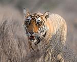 amifelins-tigre-tiger-felin