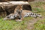 amifelins-felin-jaguar